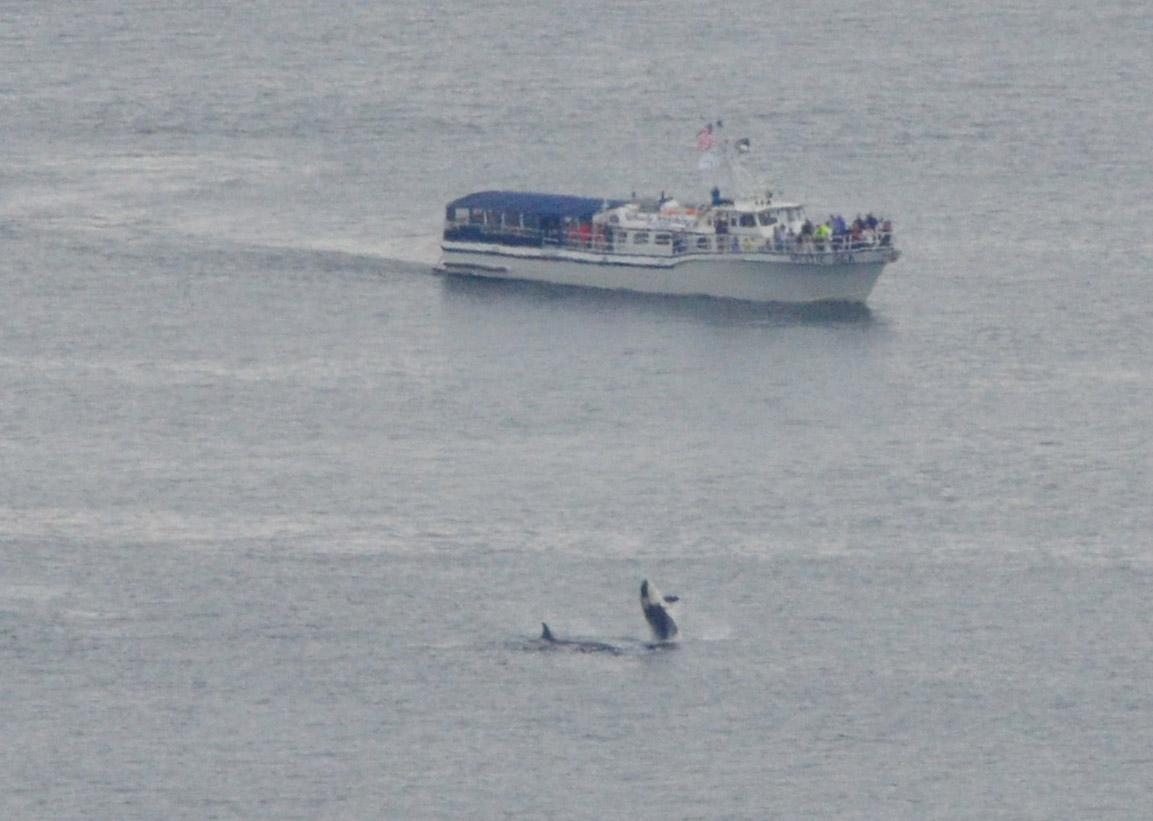 Orcas 040
