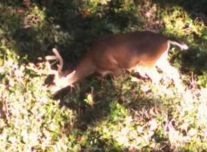 deer06202015