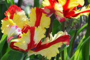 041716_Tulips_080b